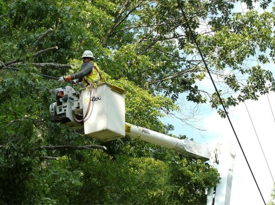 A tree-trimmer cuts down branches growing near a powerline.